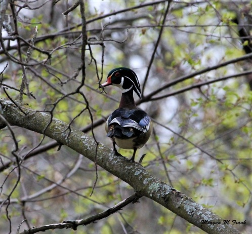 male wood duck 3